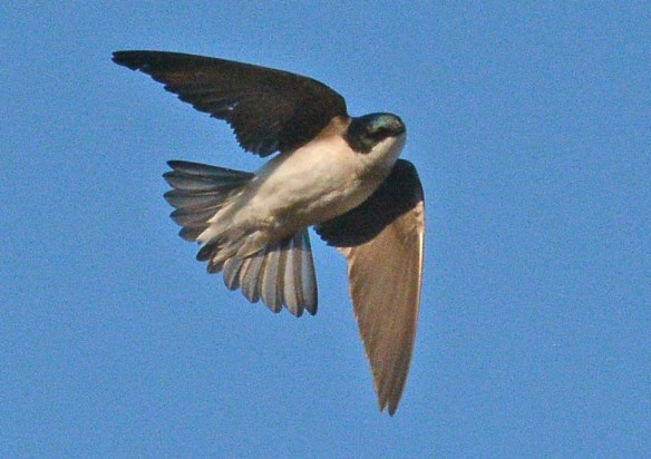 Tree Swallow 2020-5