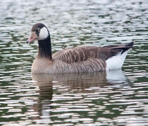 Canada Goose 2020-22