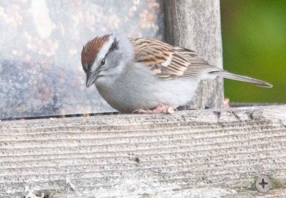 Chipping Sparrow 2020-2 jpg
