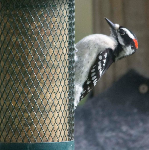 Downy Woodpecker 2020-5