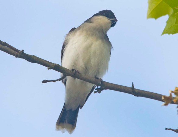 Eastern Kingbird 2020-5