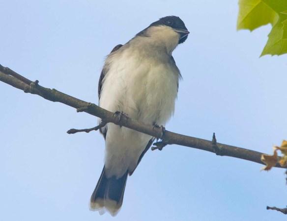 Eastern Kingbird 2020-5