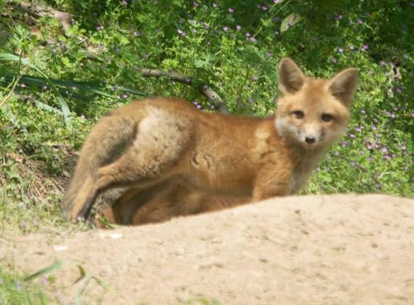 Fox 123