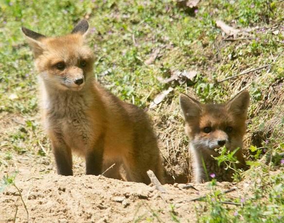 Fox 125