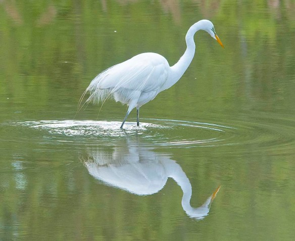 Great Egret 2020-3
