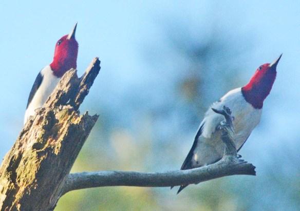 Red Headed Woodpecker 2020-1