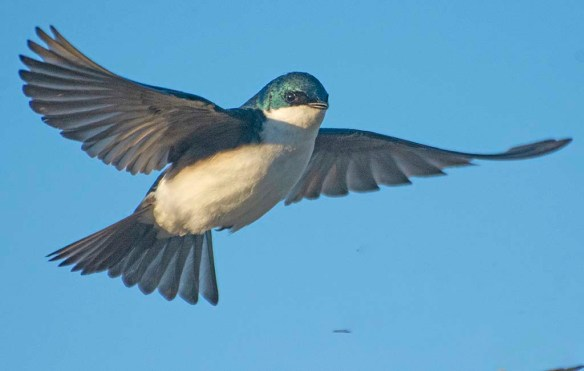 Tree Swallow 2020-8