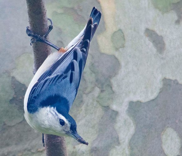 White Breasted Nuthatch 2020-7
