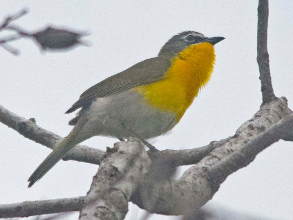 Yellow Breasted Chat 2020-1