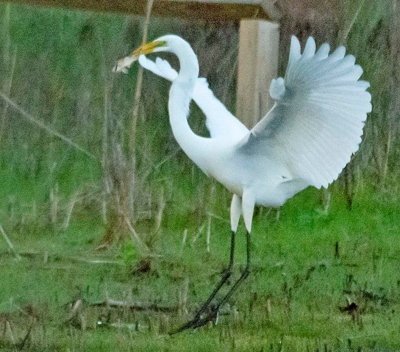 Great Egret 2020-131
