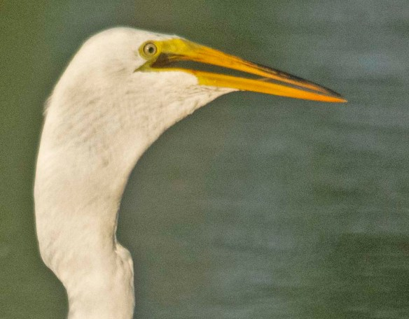 Great Egret 2020-145