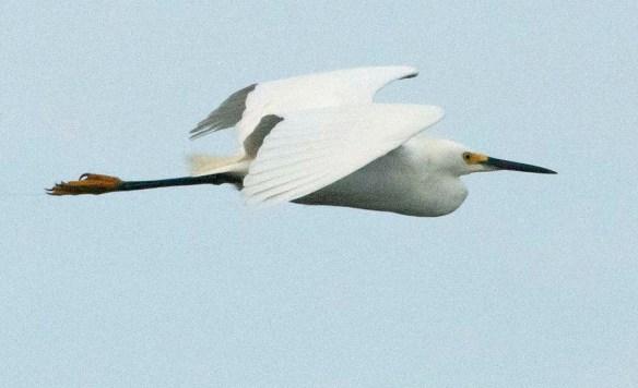 Snowy Egret 2020-106