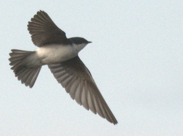 Tree Swallow 2020-119