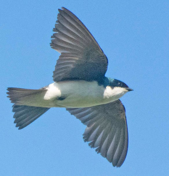 Tree Swallow 2020-165