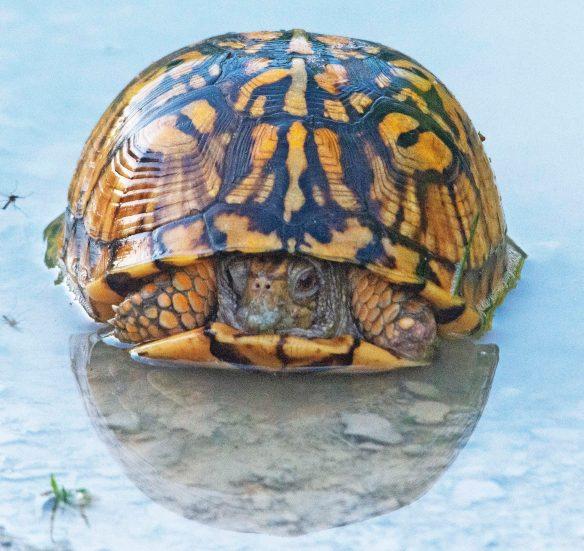 Eastern Box Turtle 16