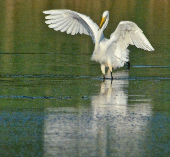 Great Egret 2020-203