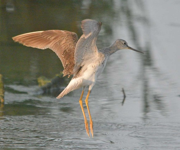 Lesser Yellowlegs 2020-11