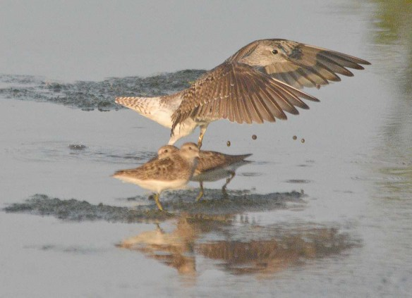 Lesser Yellowlegs 2020-14