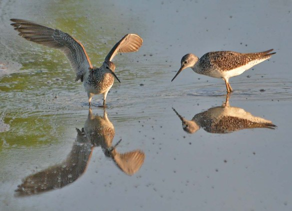 Lesser Yellowlegs 2020-9