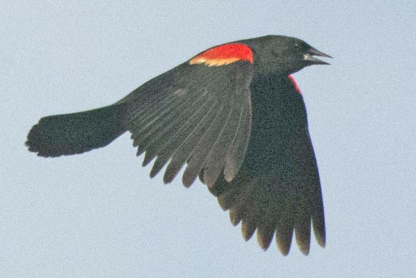 Red Winged Blackbird 2020-109