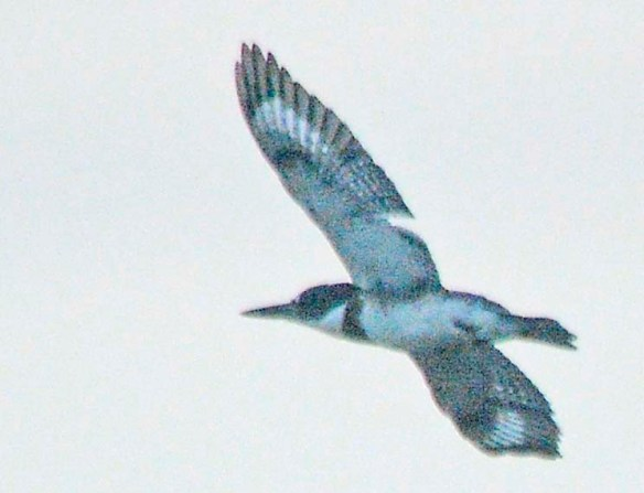 Belted Kingfisher 2020-2