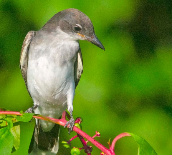 Eastern Kingbird 2020-138