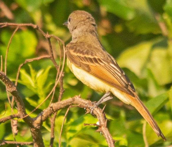 Great Crested Flycatcher 2020-108