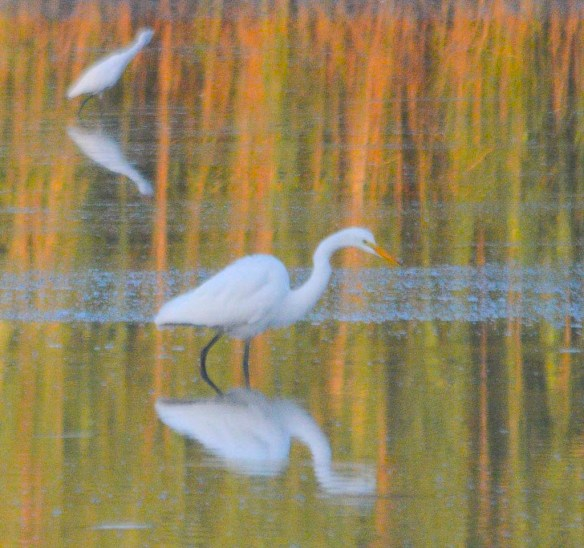 Great Egret 2020-246