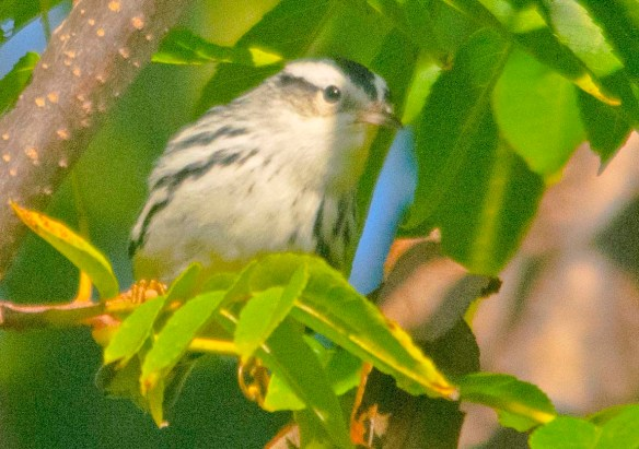 Black and White Warbler 2020-11