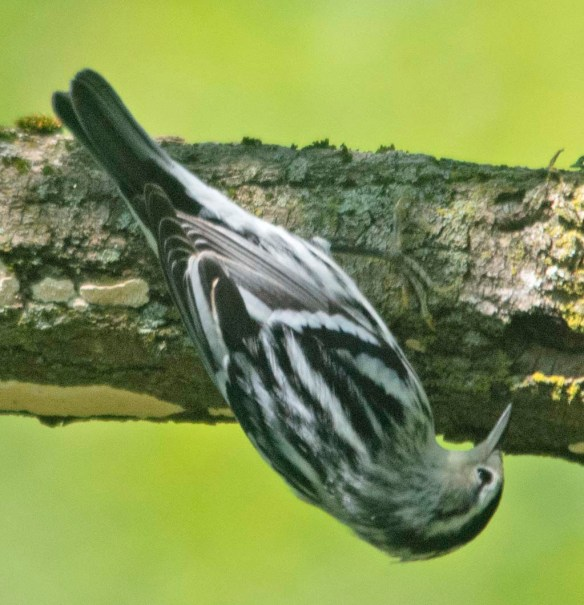 Black and White Warbler 2020-3