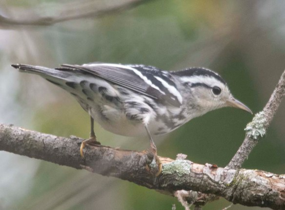 Black and White Warbler 2020-8