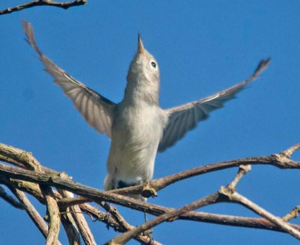 Blue Gray Gnatcatcher 2020-3