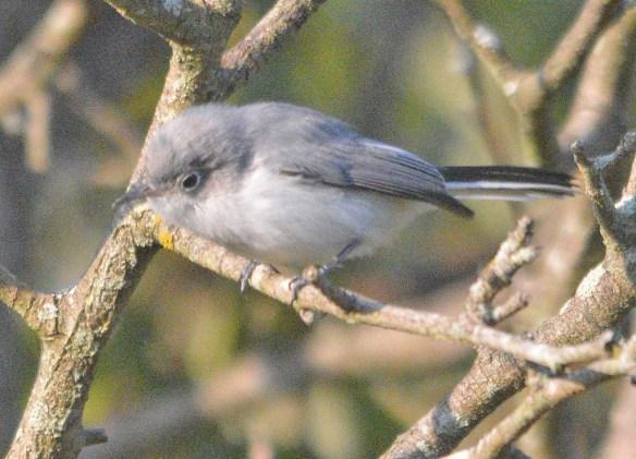Blue Gray Gnatcatcher 2020-4
