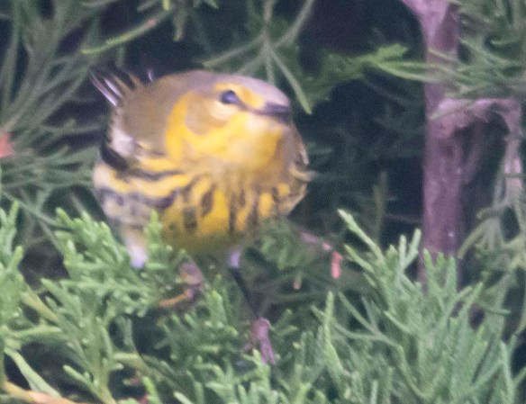Cape May Warbler 2020-2