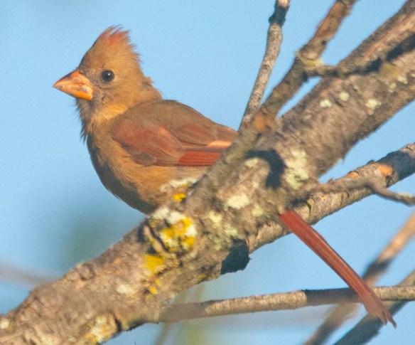 Cardinal 2020-6