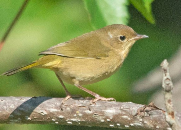 Common Yellowthroat 2020-5