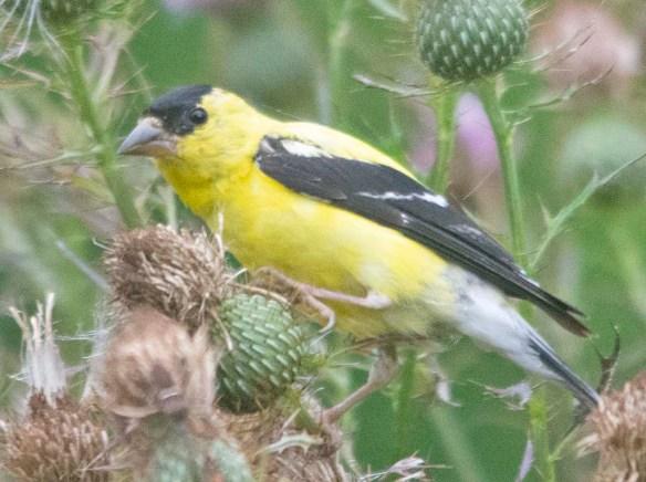 Goldfinch 2020-12