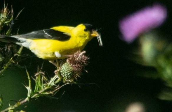 Goldfinch 2020-8