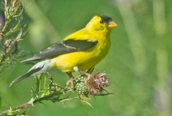 Goldfinch 2020-9