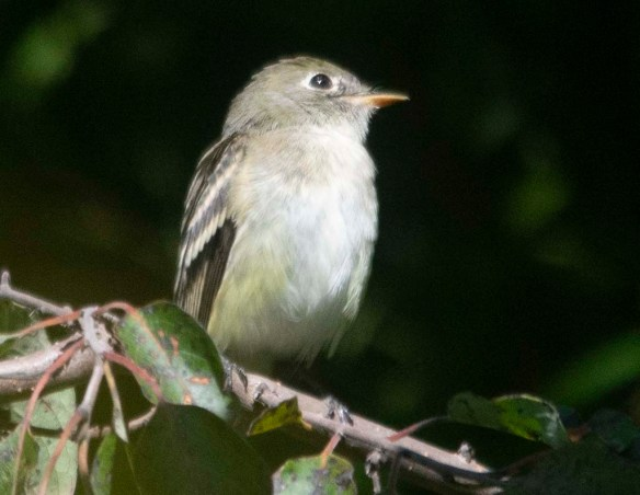 Least Flycatcher 2020-1