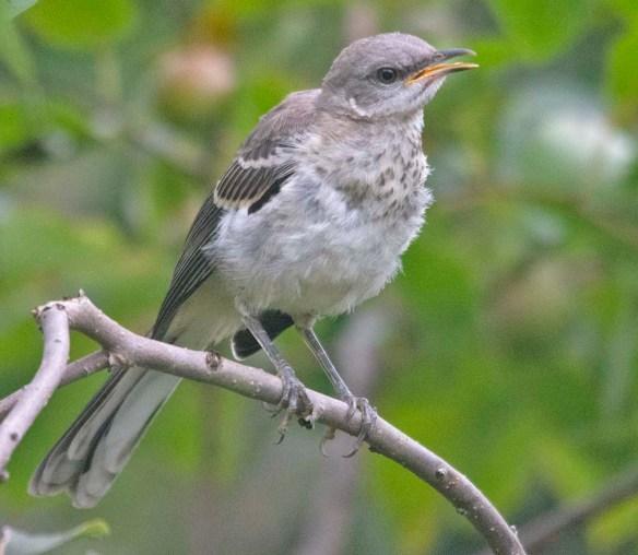 Mockingbird 2020-102