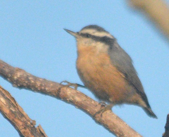 Red Breasted Nuthatch 2020-1