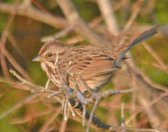 Song Sparrow 2020-2