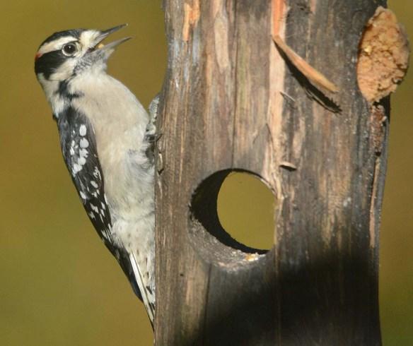 Downy Woodpecker 2020-12