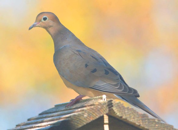 Mourning Dove 2020-101