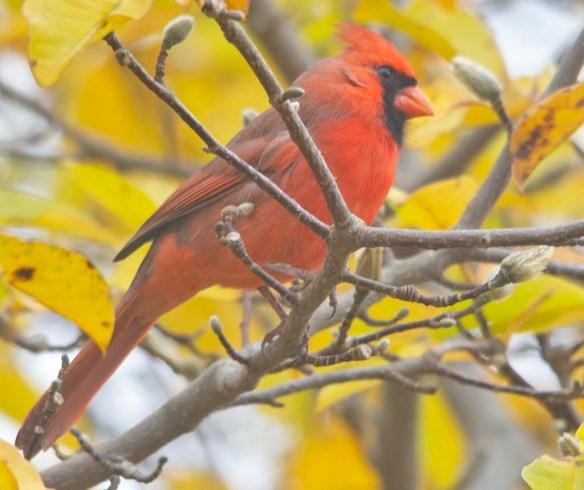 Cardinal 2020-19