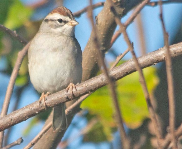 Chipping Sparrow 2020-22