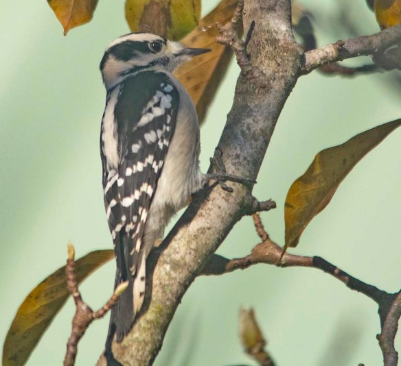 Downy Woodpecker 2020-14