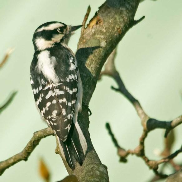Downy Woodpecker 2020-20