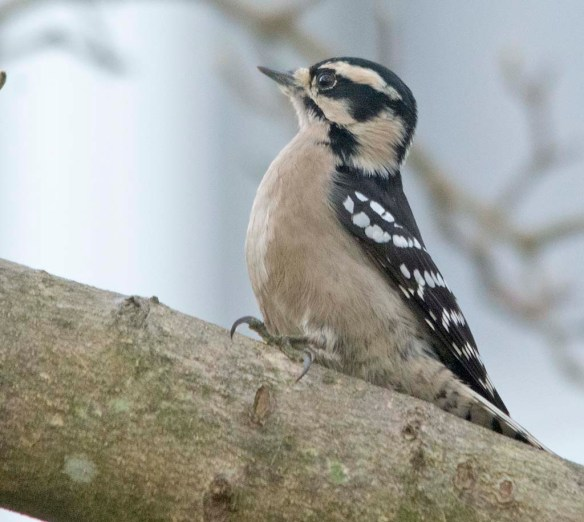 Downy Woodpecker 2020-24